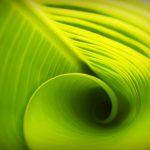 leaf-curl