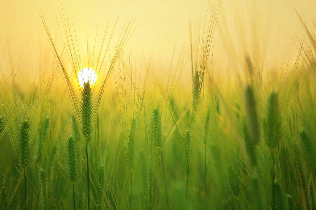 Barley field